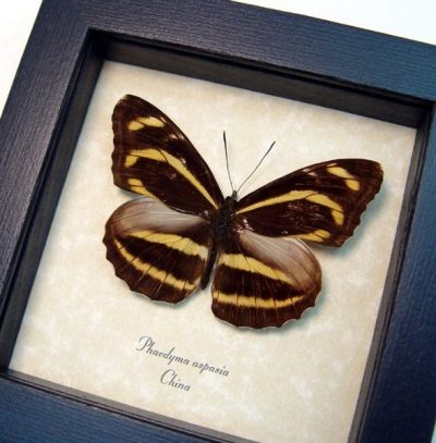 Phaedyma aspasia Orange Tiger Real Framed Striped Butterfly