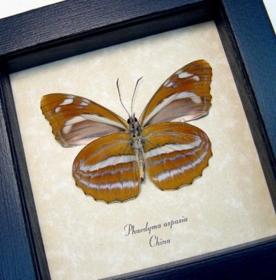 Phaedyma aspasia Verso Orange Tiger Real Framed Butterfly