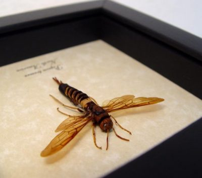 Pigeon tremex Real Framed Horntail Sawfly Wood Wasp