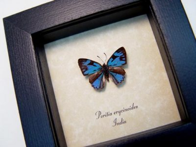 Poritia erycinoides Blue Gem Rare Metallic Blue Real Framed Butterfly