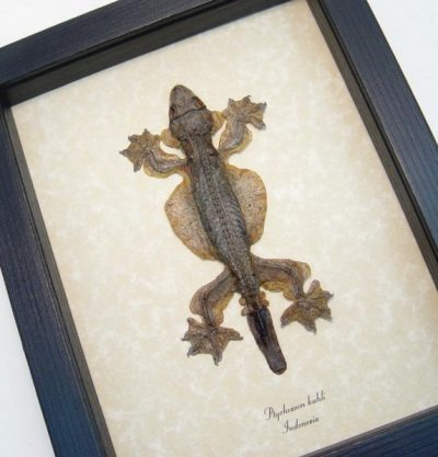 Ptychozoon kuhli Real Framed Kuhl's flying gecko Lizard