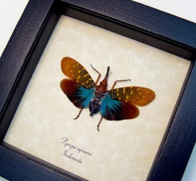 Pyrops synavei Real Framed Aqua Blue Bulbous Snout Lanternfly Insect