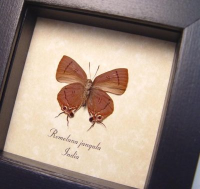 Remelana jangala verso Chocolate Royal Real Framed Swallowtail Butterfly
