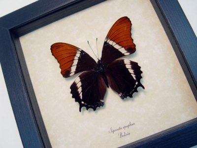 Siproeta Epaphus Rusty-Tipped Page Bolivia Real Framed Butterfly