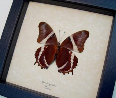 Siproeta Epaphus verso Rusty-Tipped Page Bolivia Real Framed Butterfly