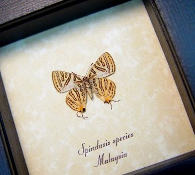 Spindasis species verso Silverline Butterfly Rare Silver Gold Real Framed Butterfly