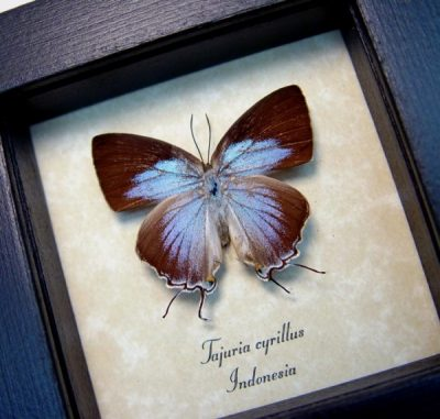 Tajuria cyrillus Female Rare Blue Swallowtail Real Framed Butterfly