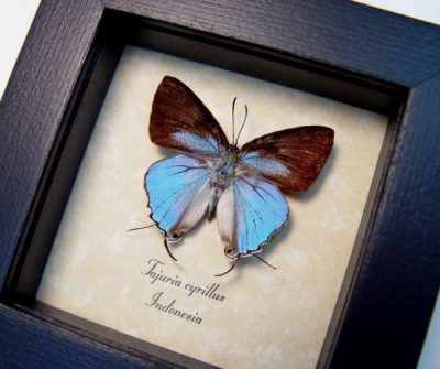Tajuria cyrillus Male Rare Blue Swallowtail Real Framed Butterfly
