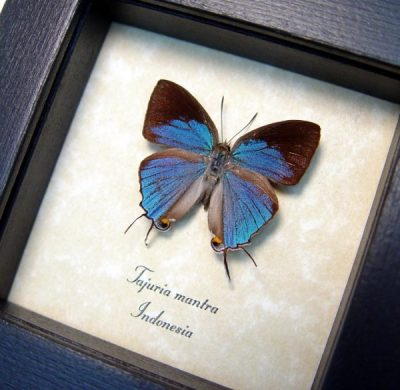 Tajuria mantra Male Rare Blue Swallowtail Real Framed Butterfly