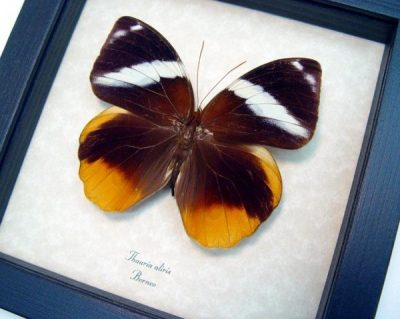 Thauria aliris Tufted Jungleking Real Framed Giant Butterfly