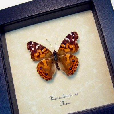 Vanessa Braziliensis Brazilian Painted Lady Real Framed Butterfly