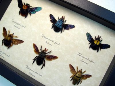 Xylocopa Sp Carpenter Bee Collection Real Framed Blue Golden Gold Spot Insects