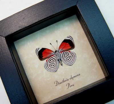 Diaethria clymena Verso The 88 Butterfly resembles Numbers Real Framed Butterfly