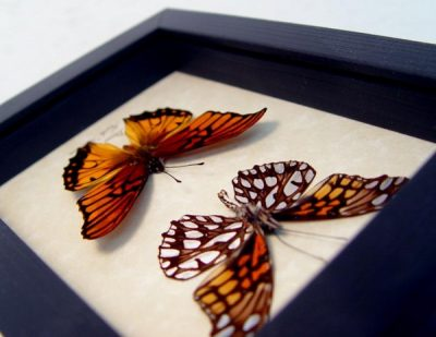 Dione moneta Pair Mexican Silverspot Real Framed Butterflies