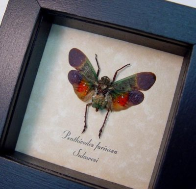 Penthicodes farinosa Red Green Orange Sunset Lanternfly Real Framed Insect