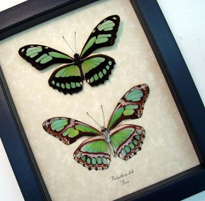 Philaethria dido Pair The Scarce Bamboo Page Green Leaf Mimic Real Framed Butterflies