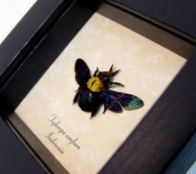 Xylocopa confusa black carpenter bee bright yellow patch