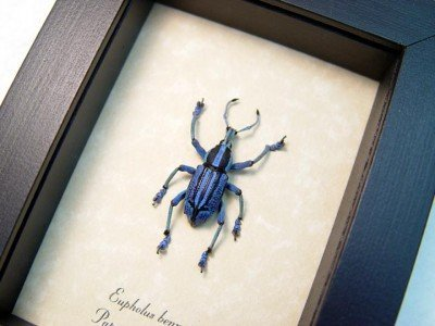 Real framed purple weevil papua new guinea rare EUPHOLUS-BENNETTI-purple-3