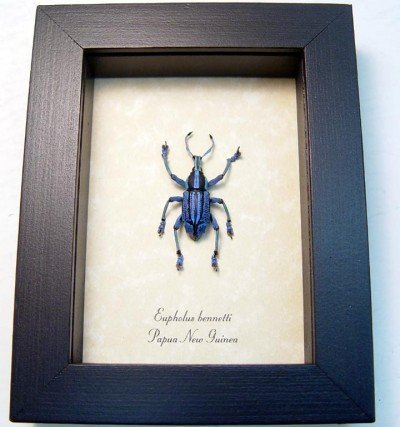 Real framed purple weevil papua new guinea rare EUPHOLUS BENNETTI purple