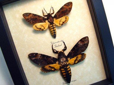Sunset moth framed real insect taxidermy collection Australia BACR