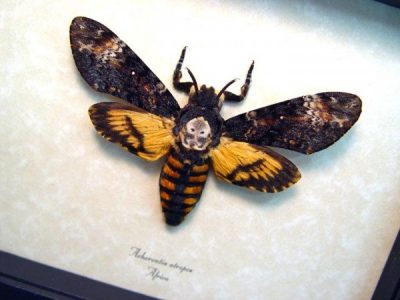 Acherontia atropos female Death's Head Moth  Real Framed