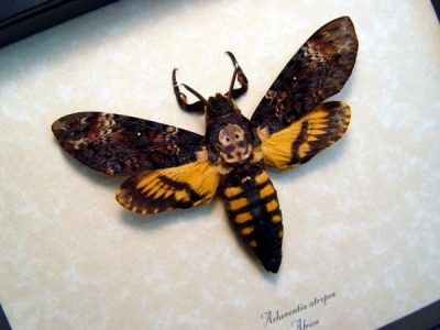 Acherontia atropos male Death's Head Moth  Real Framed