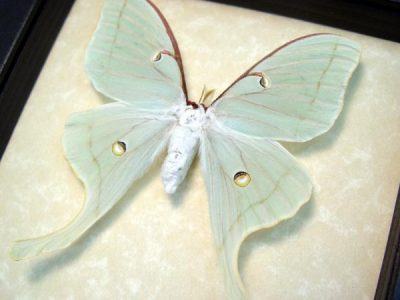 Real Framed female luna moth museum shadowbox display north american insect actias luna female 3