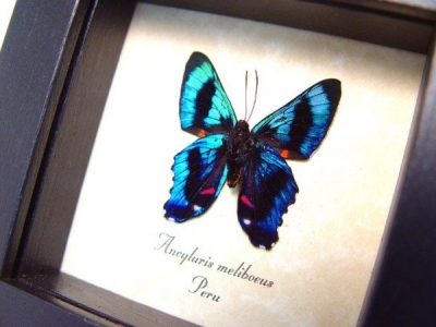 Real framed butterfly metallic electric blue red wood shadowbox insect display ancyluris meliboeus 5