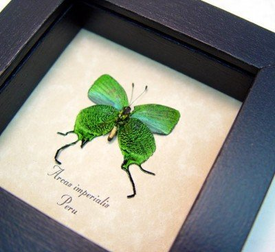 Real framed butterfly metallic electric green swallowtail wood shadowbox insect display arcas imperialis 4