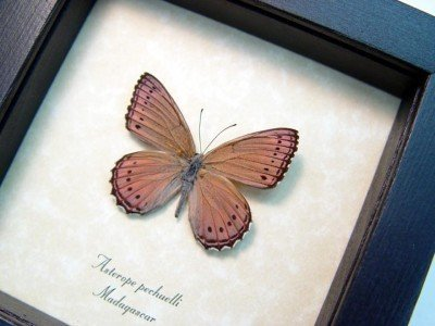 Real framed butterfly lavendar african madagascar insect asterope pechuelli 4