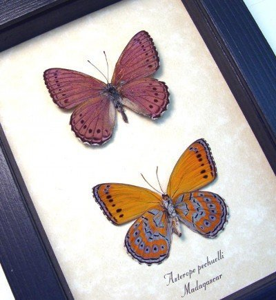 real framed lavendar orange african butterflies butterfly set asterope pechuelli pair 2