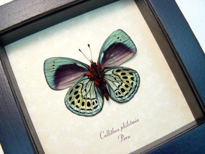 Real framed butterfly metallic blue green peru tropical insect callithea philotmia 2