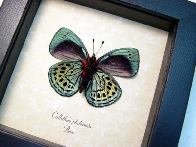 Real framed butterfly metallic blue green peru tropical insect callithea philotmia 3