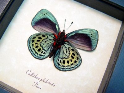 Real framed butterfly metallic blue green peru tropical insect callithea philotmia 4