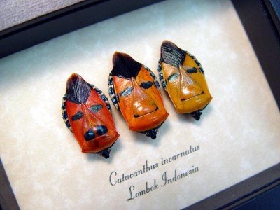 real framed orange gold man face beetle trio set catacanthus incarnatus 4