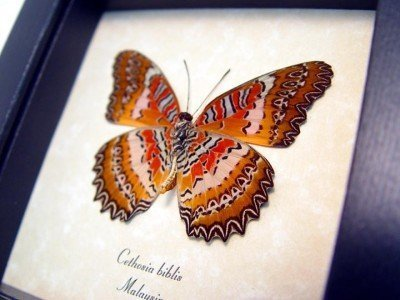 Real framed butterfly red frilled zig zag scalloped edges cethosia biblis 4