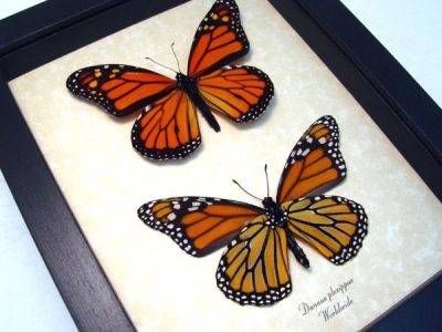 real framed butterflies monarch butterfly set danaus-plexippus-set-4