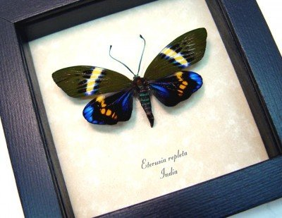 Real framed day flying moth electric blue eterusia repleta 2