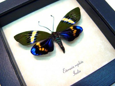 Real framed day flying moth electric blue eterusia repleta 4