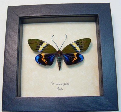 Real framed day flying moth electric blue eterusia repleta