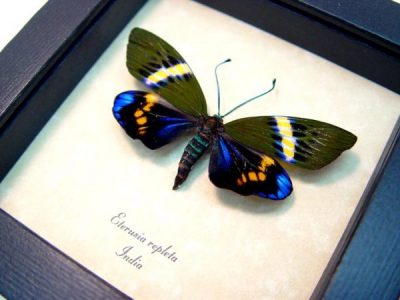 Real framed day flying moth electric blue eterusia repleta 5