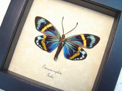 Real framed day flying moth eterusia repleta museum shadowbox display 3