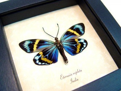 Real framed day flying moth eterusia repleta museum shadowbox display 4