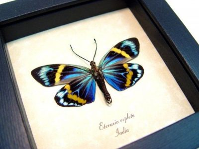 Real framed day flying moth  eterusia-repleta museum shadowbox display