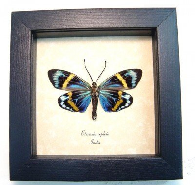 Real framed day flying moth eterusia repleta museum shadowbox display