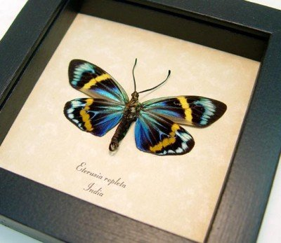 Real framed day flying moth eterusia repleta museum shadowbox display 5