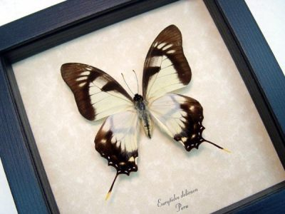 Real framed butterfly Eurytides dolicaon museum shadowbox display