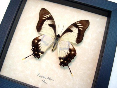 Real framed butterfly Eurytides dolicaon museum shadowbox display 3