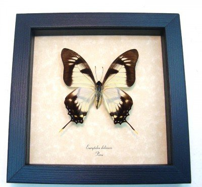 Real framed butterfly Eurytides dolicaon museum shadowbox display front
