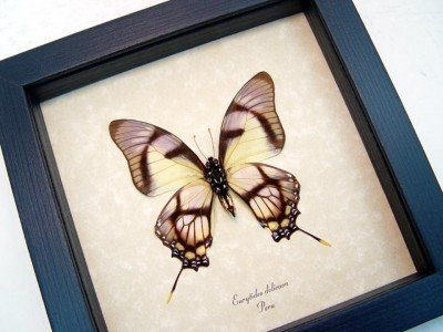Real framed butterfly Eurytides dolicaon verso museum shadowbox display 2